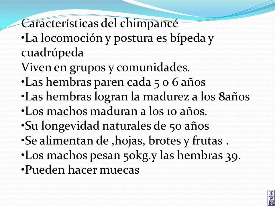 Características del chimpancé La locomoción y postura es bípeda y cuadrúpeda Viven en grupos y comunidades. Las hembras paren cada 5 o 6 años Las hemb