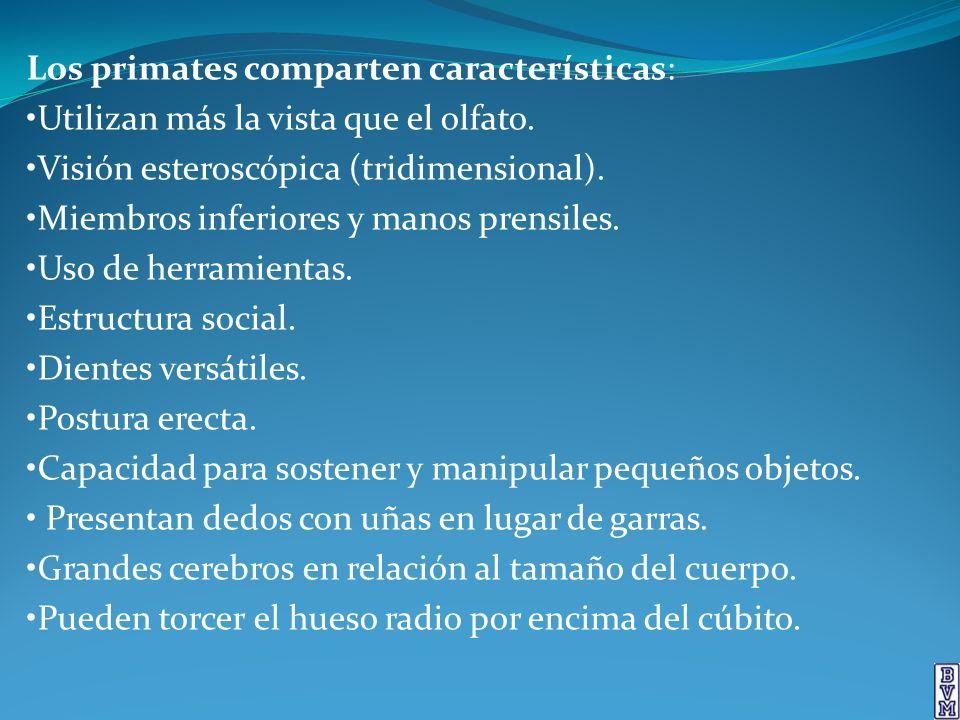 PRIMATES: Grupo Prosimios Lémures Viven actualmente en Asia y África tropicales.