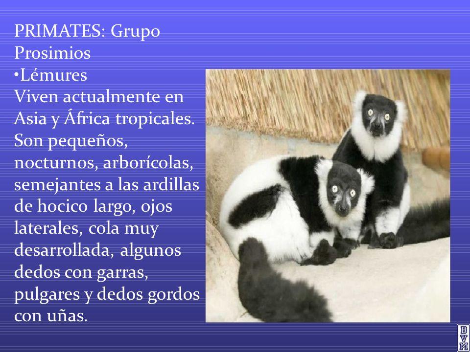 PRIMATES: Grupo Prosimios Lémures Viven actualmente en Asia y África tropicales. Son pequeños, nocturnos, arborícolas, semejantes a las ardillas de ho