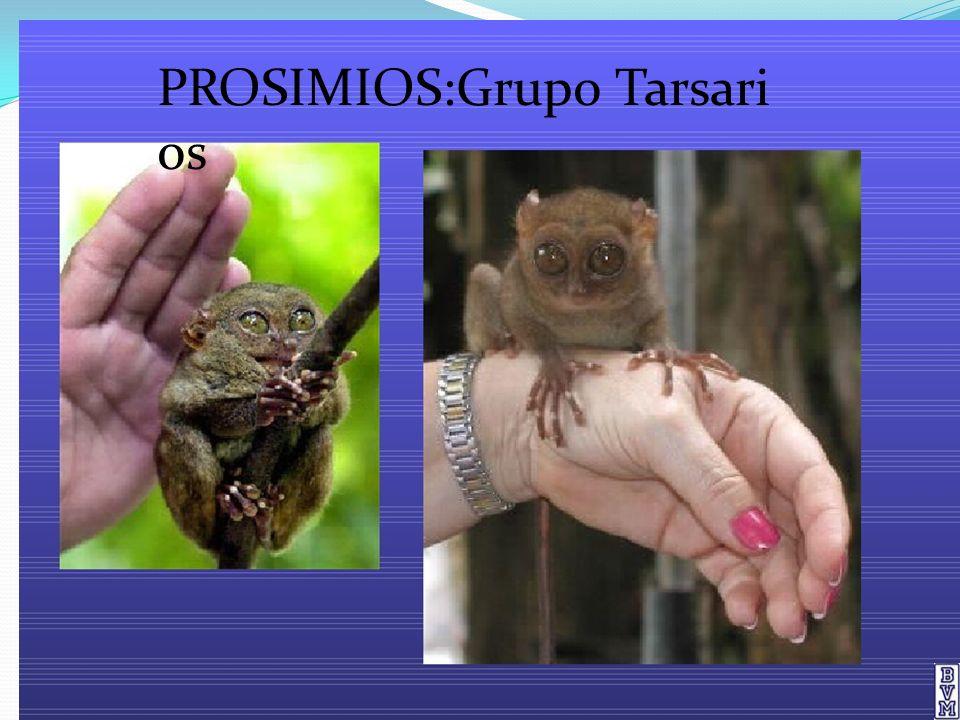 Características de los Tarsarios Tamaño de una rataExtremidades posteriores largas(saltos)Ojos enormes con visiónestereoscópica (no puedenmover los ojos).Pueden girar lacabeza en 360 grados.Hocico corto, labio superior noadherido a la encia.Dedos largos provistos decojines adhesivos.Se alimentan de insectos,lagartos y otros animalespequeños.Habitan las islas al sueste deAsiaPresentan hábitos nocturnos yson difíciles de ver.
