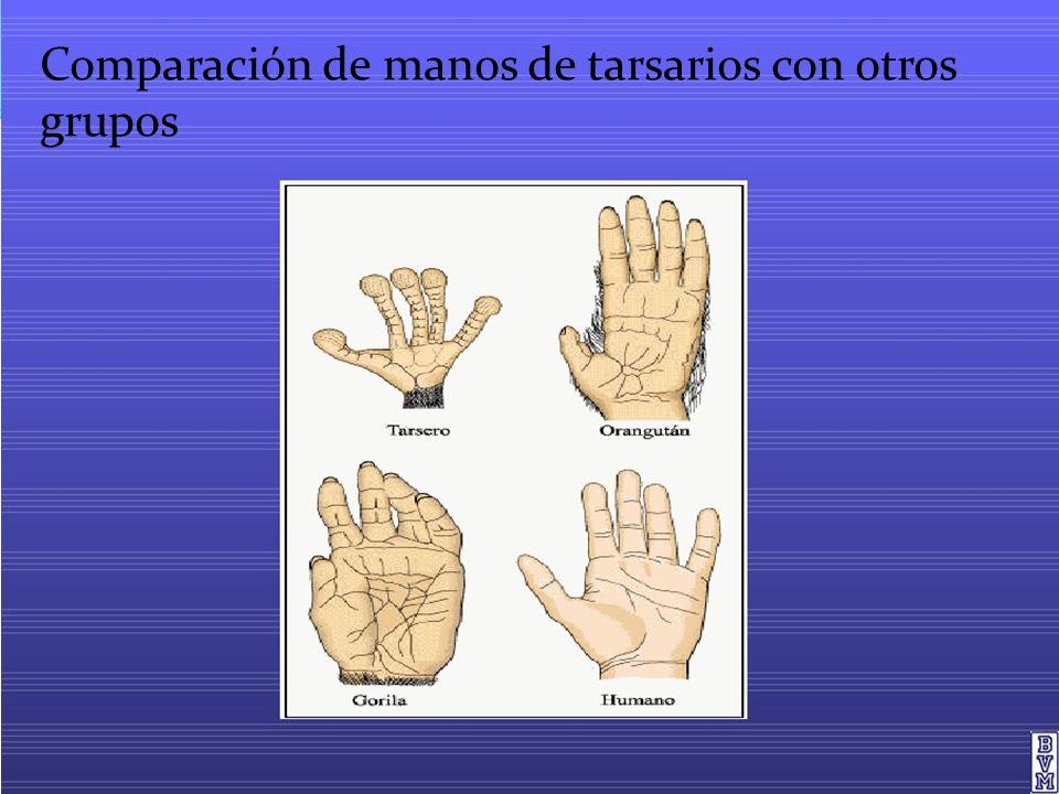 Comparación de manos de tarsarios con otros grupos