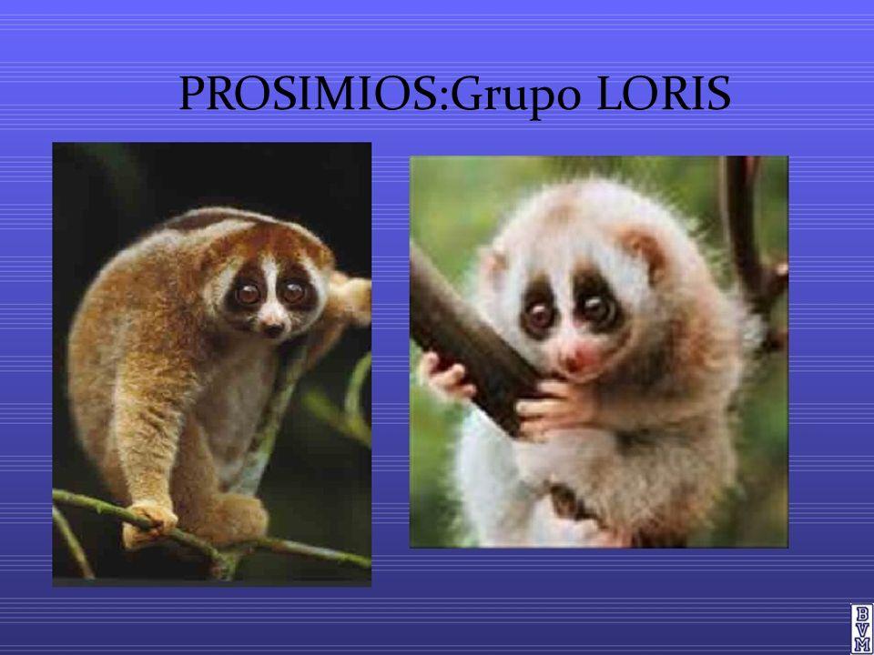 CARACTERÍSTICAS DE LOS LORIS Tienen gran flexibilidad en tobillos ymuñecas.