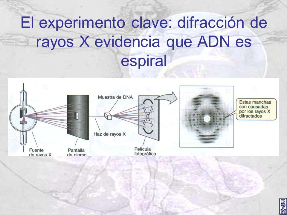 El experimento clave: difracción de rayos X evidencia que ADN es espiral