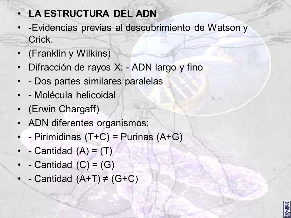 LA ESTRUCTURA DEL ADN -Evidencias previas al descubrimiento de Watson y Crick. (Franklin y Wilkins) Difracción de rayos X: - ADN largo y fino - Dos pa