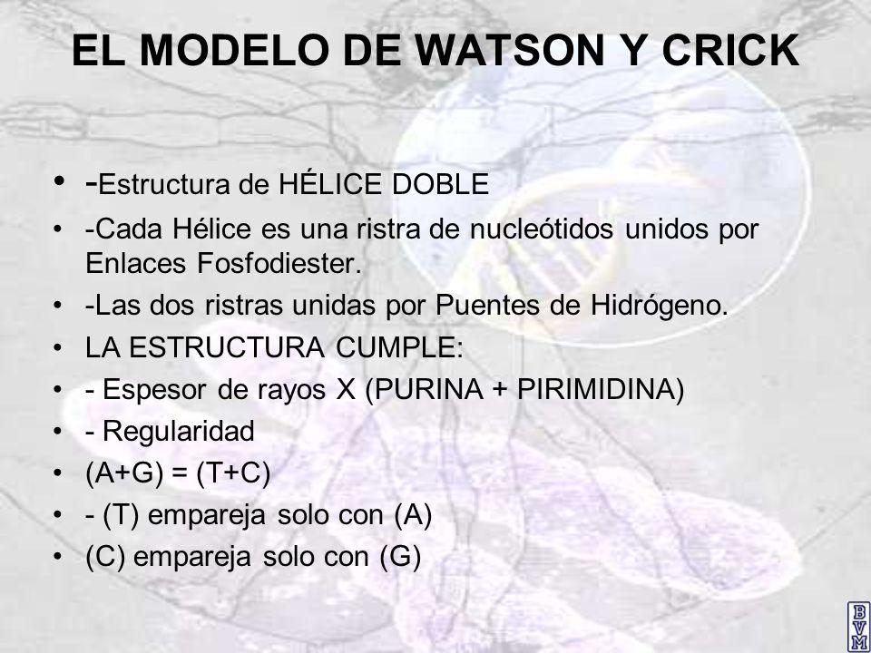 EL MODELO DE WATSON Y CRICK - Estructura de HÉLICE DOBLE -Cada Hélice es una ristra de nucleótidos unidos por Enlaces Fosfodiester. -Las dos ristras u