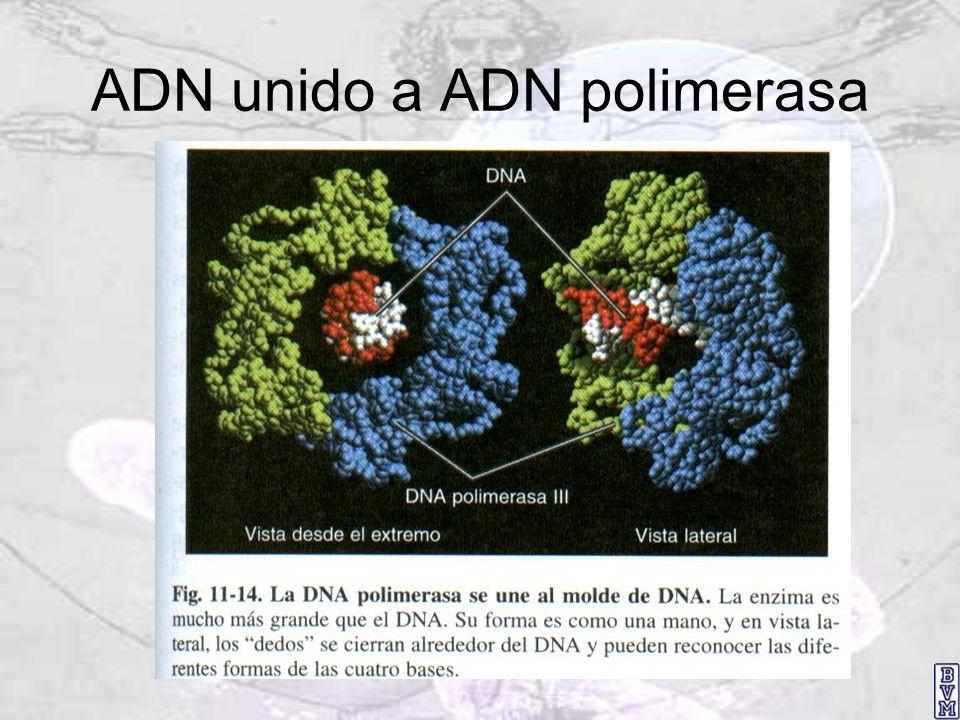 ADN unido a ADN polimerasa