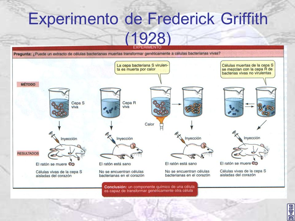 Experimento de Oswald T. Avery et al. (1943) El ADN es el material genético