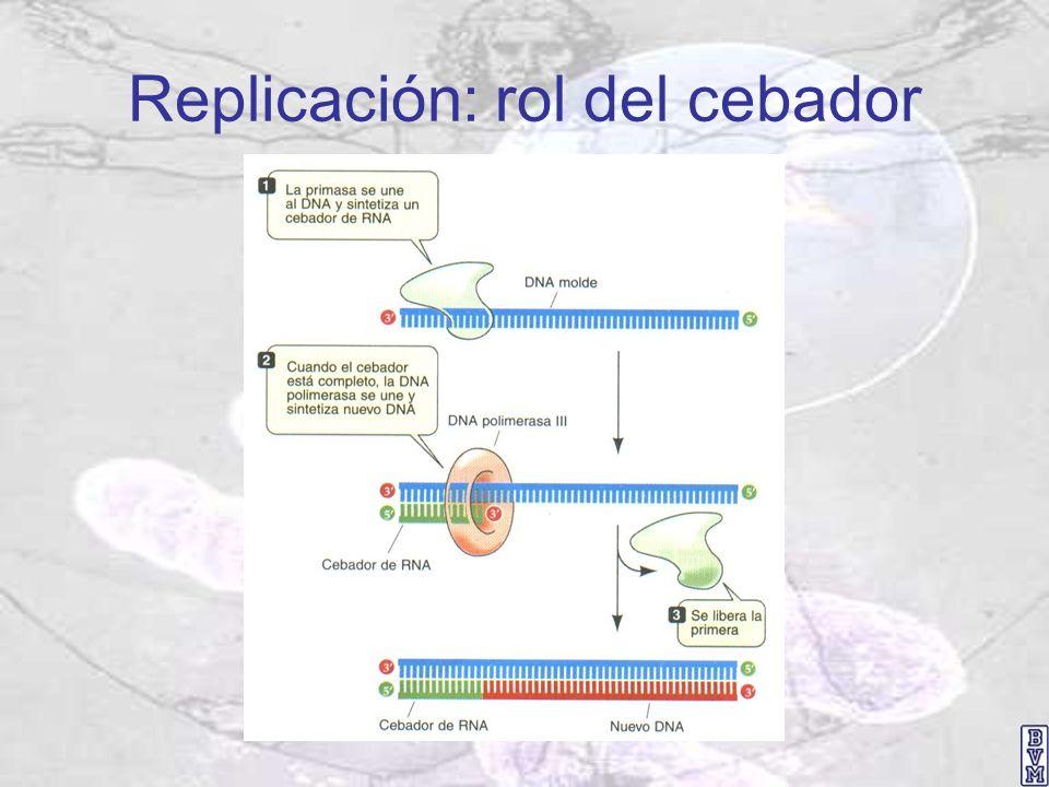 Replicación: rol del cebador