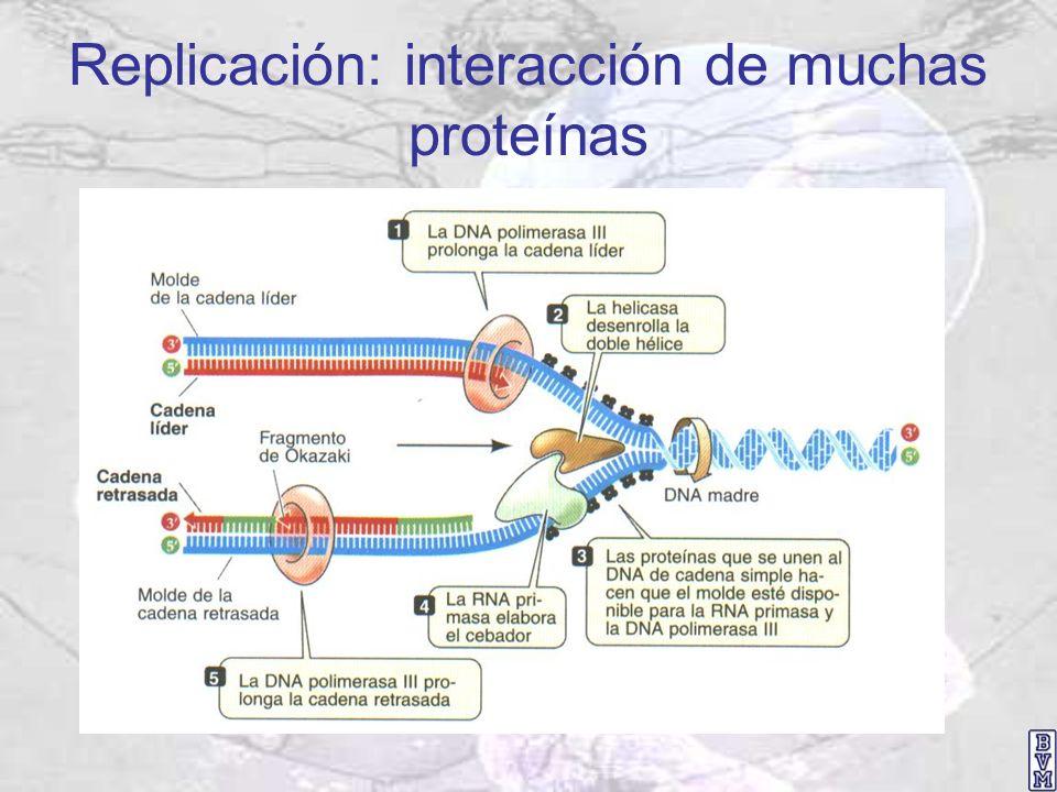 Replicación: interacción de muchas proteínas