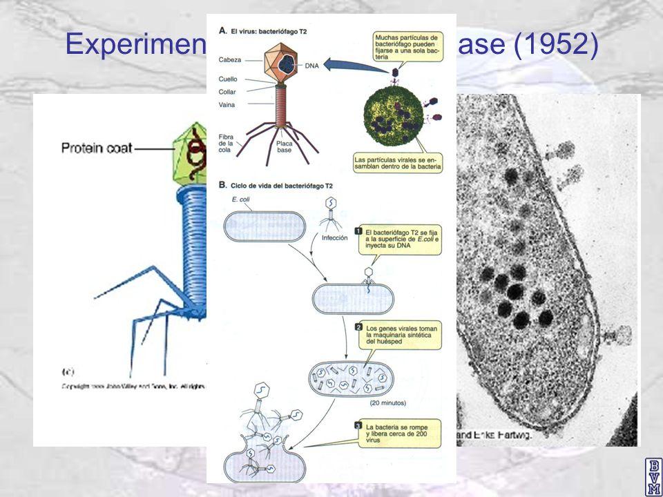 Experimento de Alfred Hershey y Martha Chase (1952)