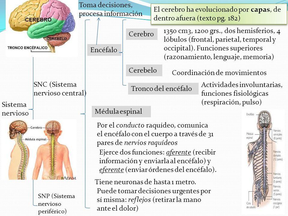 Sistema nervioso SNC (Sistema nervioso central) SNP (Sistema nervioso periférico) Encéfalo Médula espinal Cerebro Cerebelo Tronco del encéfalo 1350 cm