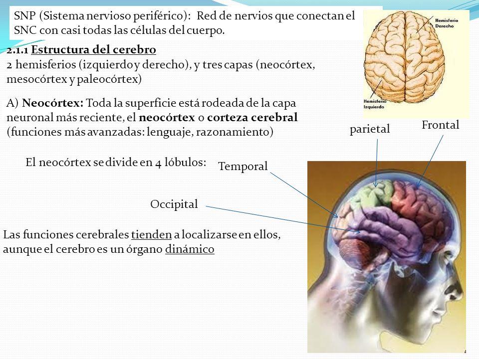 SNP (Sistema nervioso periférico): Red de nervios que conectan el SNC con casi todas las células del cuerpo. 2.1.1 Estructura del cerebro 2 hemisferio