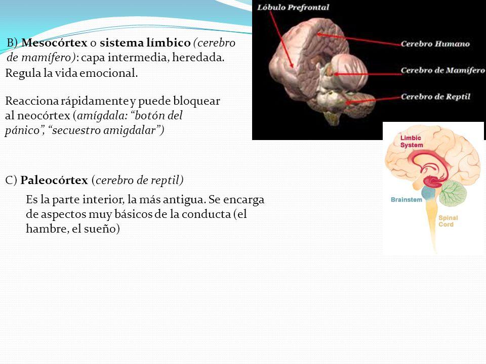 Regula la vida emocional. B) Mesocórtex o sistema límbico (cerebro de mamífero): capa intermedia, heredada. Reacciona rápidamente y puede bloquear al