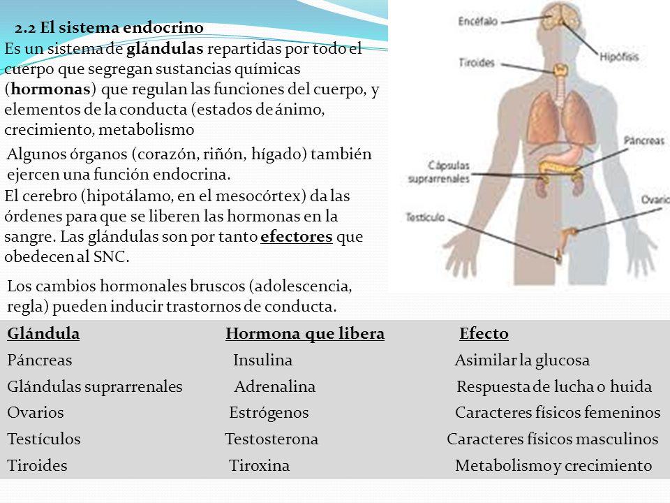 2.2 El sistema endocrino Es un sistema de glándulas repartidas por todo el cuerpo que segregan sustancias químicas (hormonas) que regulan las funcione