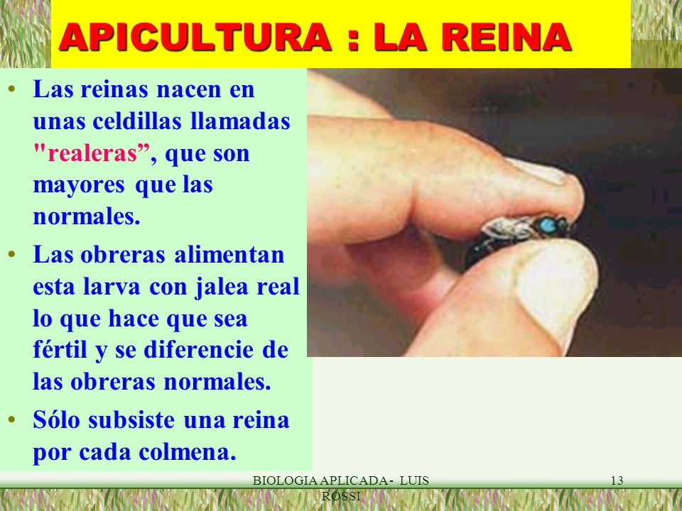 BIOLOGIA APLICADA - LUIS ROSSI 13 APICULTURA : LA REINA Las reinas nacen en unas celdillas llamadas