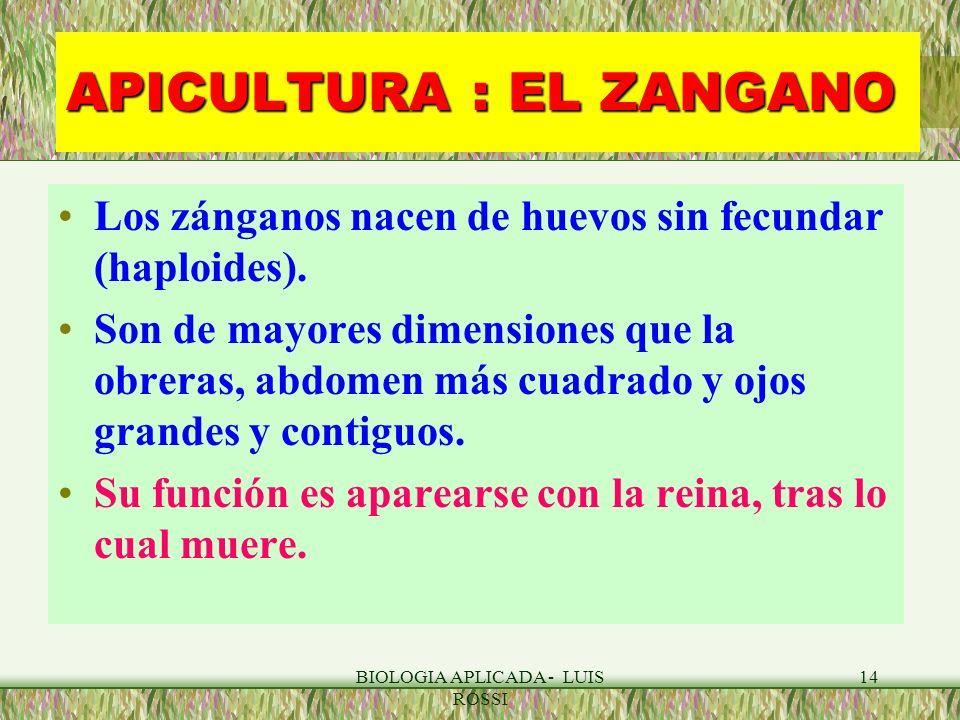 BIOLOGIA APLICADA - LUIS ROSSI 14 APICULTURA : EL ZANGANO Los zánganos nacen de huevos sin fecundar (haploides). Son de mayores dimensiones que la obr