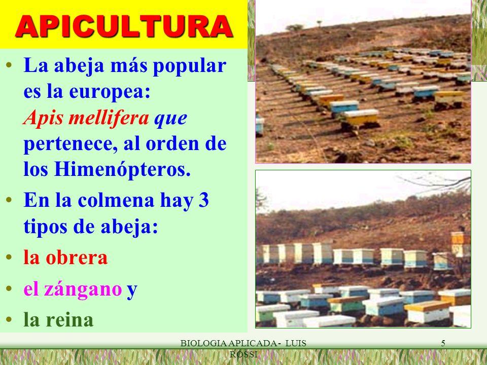 BIOLOGIA APLICADA - LUIS ROSSI 6APICULTURA Una colonia presenta entre 42,000 y 60,000 abejas y puede sobrevivir hasta 20 años.
