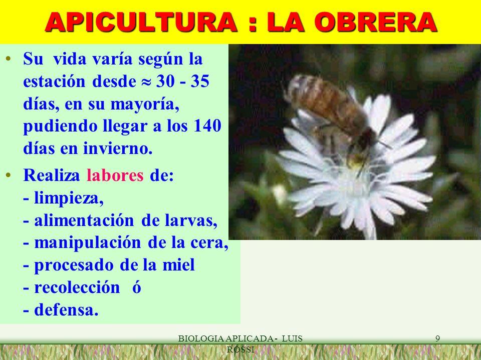 BIOLOGIA APLICADA - LUIS ROSSI 9 APICULTURA : LA OBRERA Su vida varía según la estación desde 30 - 35 días, en su mayoría, pudiendo llegar a los 140 d