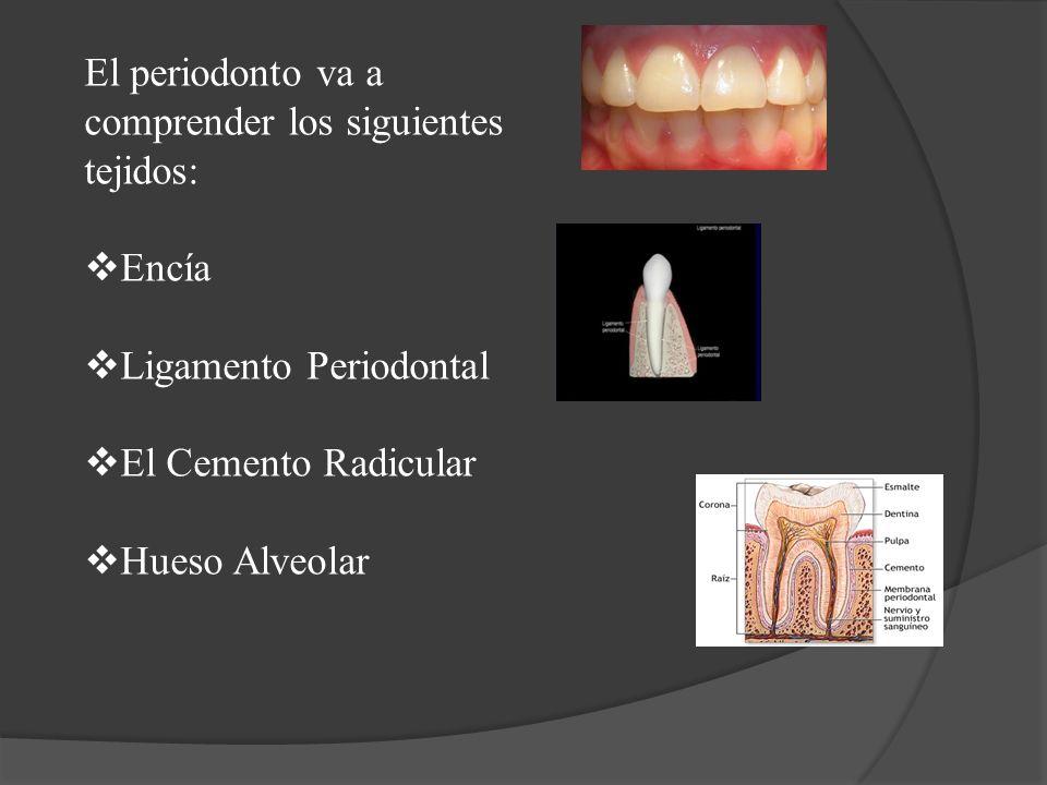 El periodonto va a comprender los siguientes tejidos: Encía Ligamento Periodontal El Cemento Radicular Hueso Alveolar