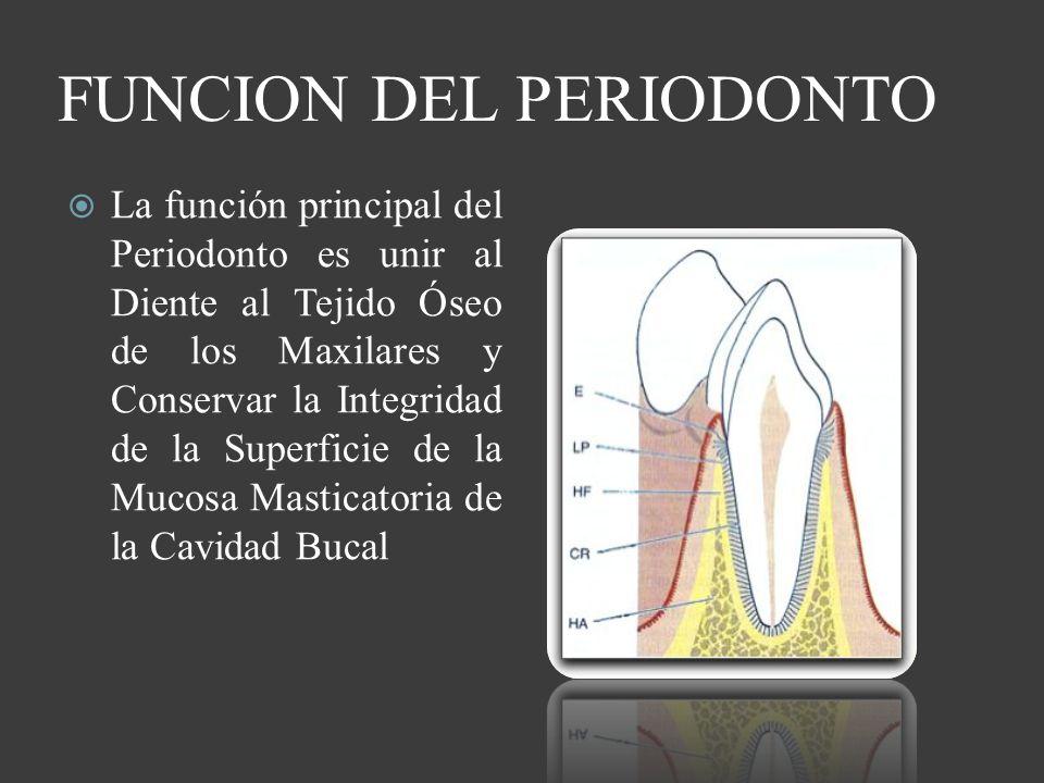 FUNCION DEL PERIODONTO La función principal del Periodonto es unir al Diente al Tejido Óseo de los Maxilares y Conservar la Integridad de la Superfici