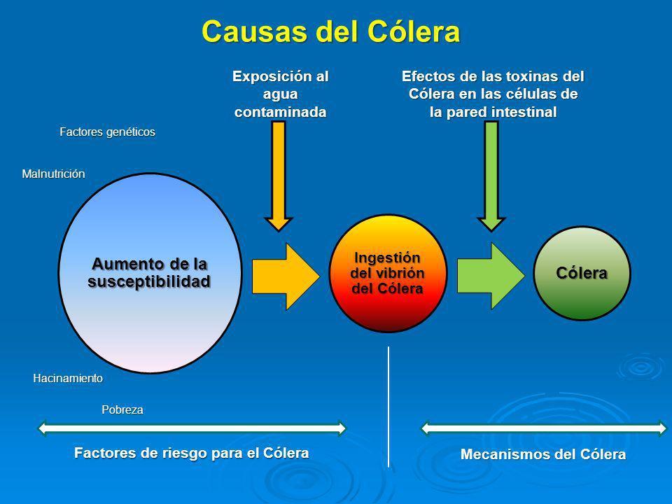Aumento de la susceptibilidad Ingestión del vibrión del Cólera Cólera Causas del Cólera Factores genéticos Malnutrición Hacinamiento Pobreza Exposició