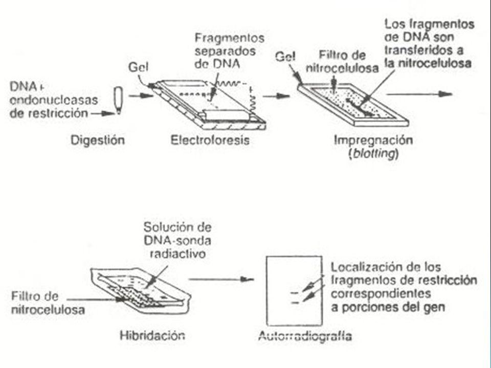 Diagnóstico El diagnostico diferencial es generalmente sencillo: anemias sideroblásticas: anillo perinuclear, C de protoporfirinas eritrocíticas anemias desideropoyeticas congénita: no tiene elevada HbF, multinuclearidad de precursores de GR.