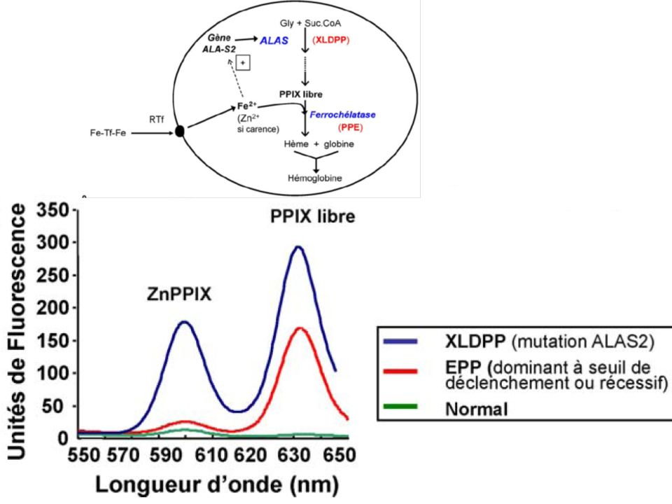 Mutación Dominante puede ser: 1.Completa perdida de la función del gen (ALELO AMORFICO).