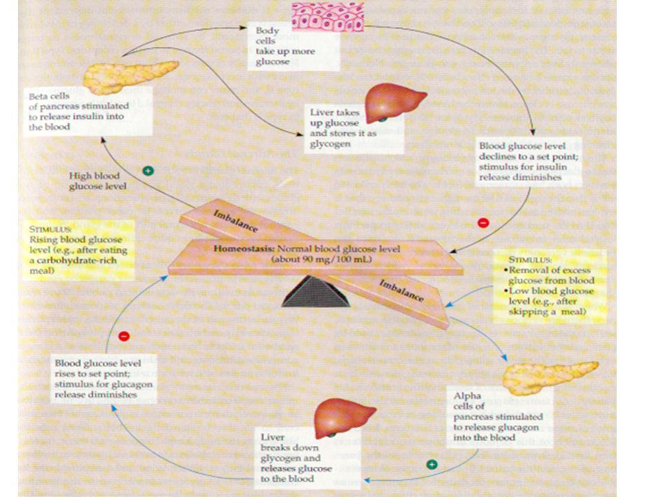 Control del azúcar en la sangre La Insulina y glucagon son producidas por grupos celulares en el páncreas (islotes de Langerhans). Las células Beta fa