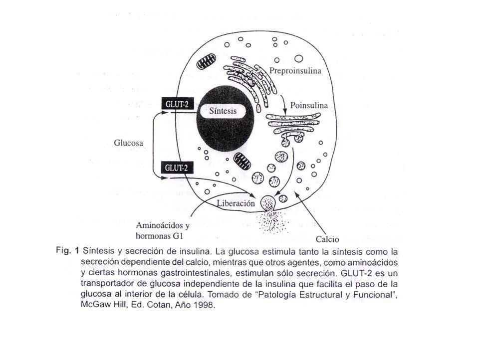 Insulina La Insulina promueve la entrada de glucosa a las células La Insulina afecta enzimas que controlan la tasa metabólica de CARBOHIDRATOS, GRASAS