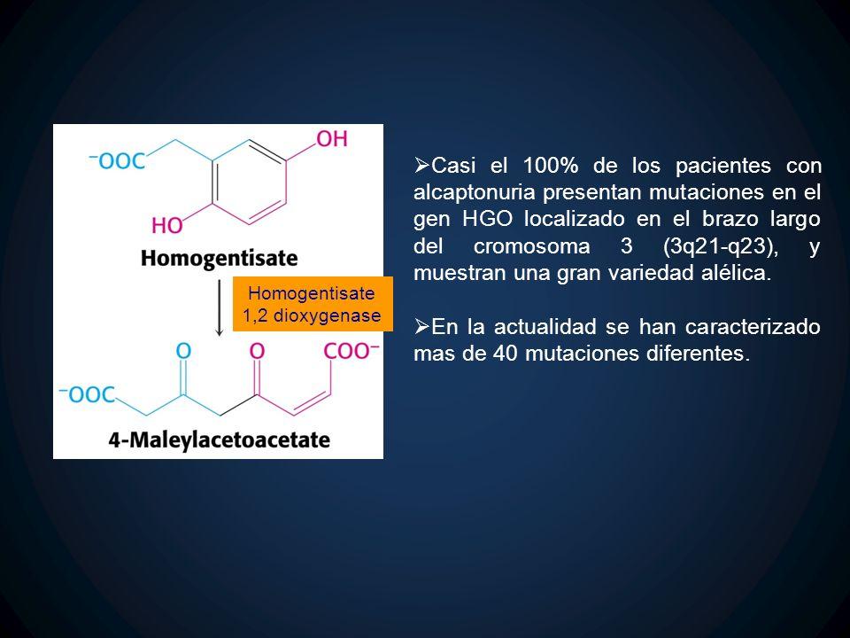 Homogentisate 1,2 dioxygenase Casi el 100% de los pacientes con alcaptonuria presentan mutaciones en el gen HGO localizado en el brazo largo del cromo