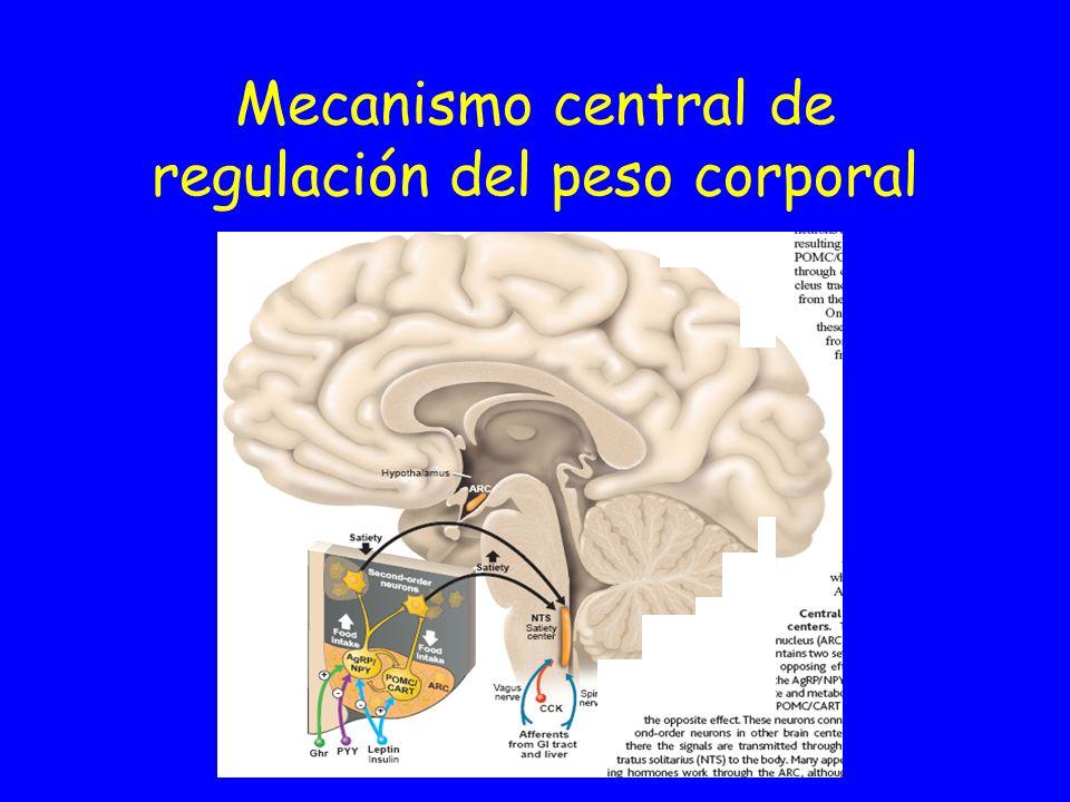 Ultraestructura del control central del apetito