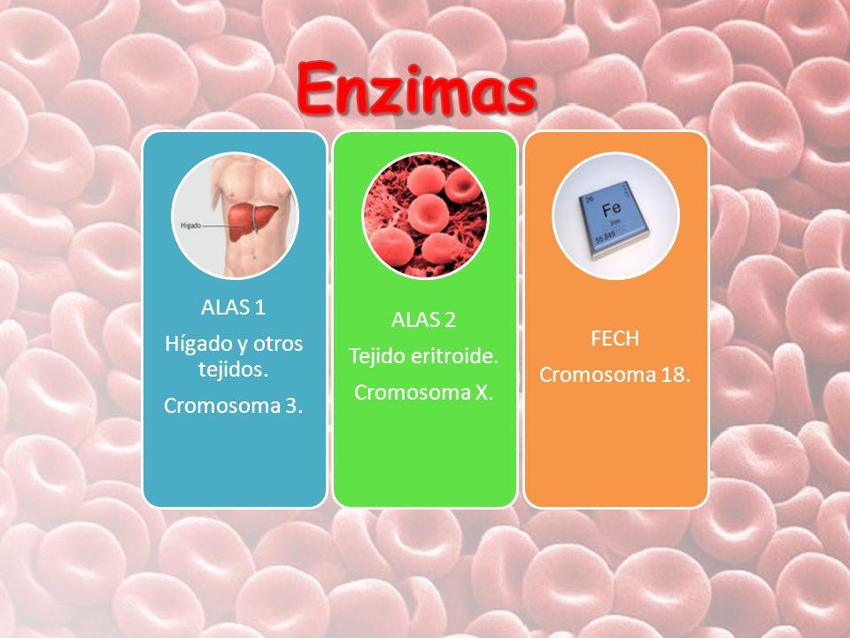 ALAS 1 Hígado y otros tejidos. Cromosoma 3. ALAS 2 Tejido eritroide. Cromosoma X. FECH Cromosoma 18.
