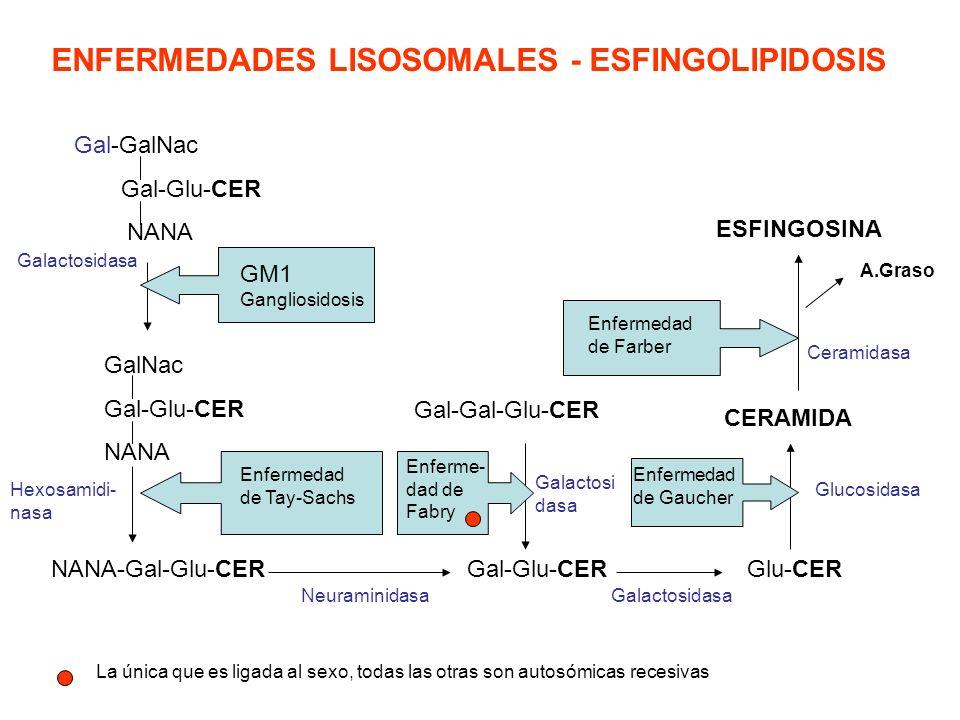 ENFERMEDADES LISOSOMALES - ESFINGOLIPIDOSIS Gal-GalNac Gal-Glu-CER NANA Galactosidasa GM1 Gangliosidosis GalNac Gal-Glu-CER NANA Hexosamidi- nasa NANA