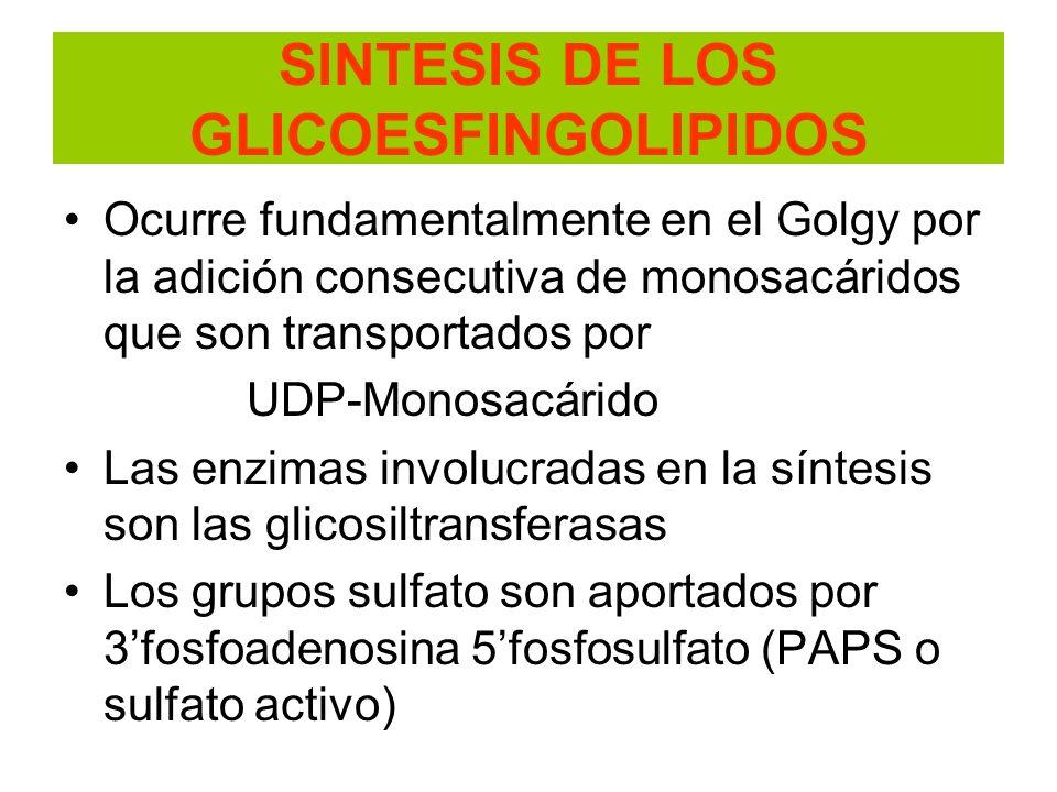 SINTESIS DE LOS GLICOESFINGOLIPIDOS Ocurre fundamentalmente en el Golgy por la adición consecutiva de monosacáridos que son transportados por UDP-Mono