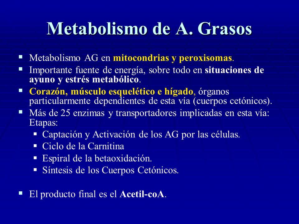 Metabolismo de A. Grasos Metabolismo AG en mitocondrias y peroxisomas. Importante fuente de energía, sobre todo en situaciones de ayuno y estrés metab