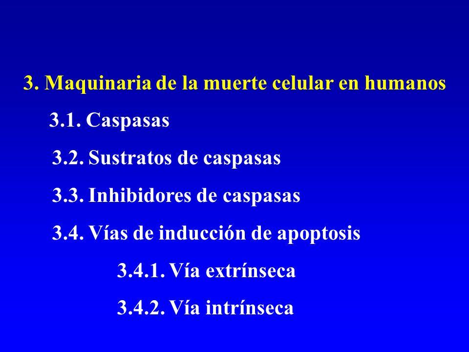 3. Maquinaria de la muerte celular en humanos 3.1. Caspasas 3.2. Sustratos de caspasas 3.3. Inhibidores de caspasas 3.4. Vías de inducción de apoptosi