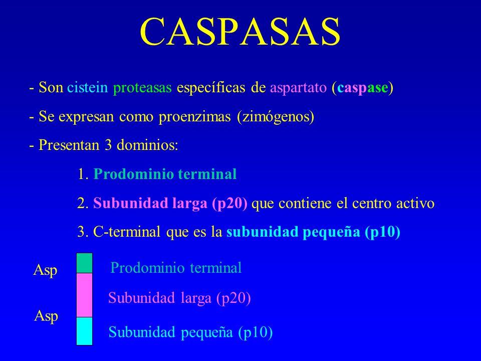 CASPASAS - Son cistein proteasas específicas de aspartato (caspase) - Se expresan como proenzimas (zimógenos) - Presentan 3 dominios: 1. Prodominio te