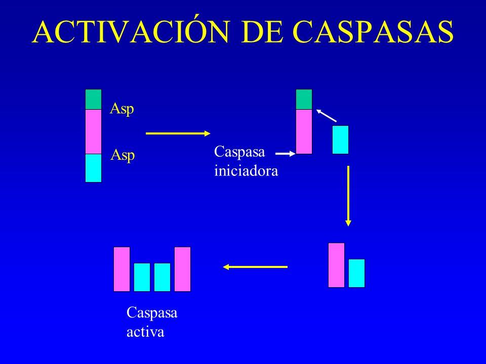 ACTIVACIÓN DE CASPASAS Asp Caspasa iniciadora Caspasa activa