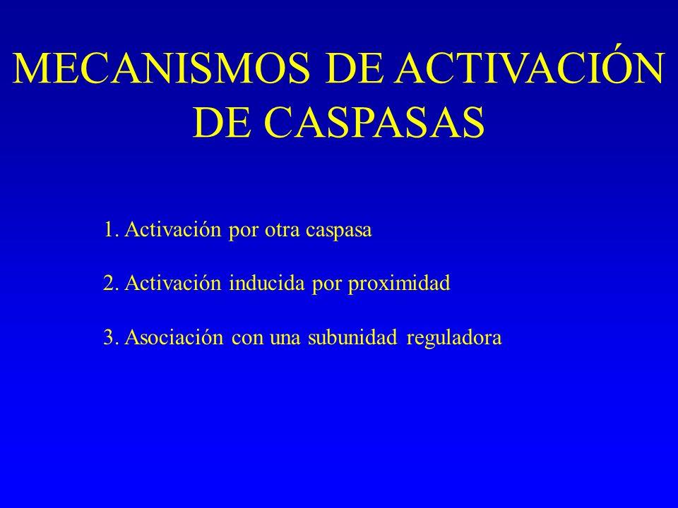 MECANISMOS DE ACTIVACIÓN DE CASPASAS 1. Activación por otra caspasa 2. Activación inducida por proximidad 3. Asociación con una subunidad reguladora