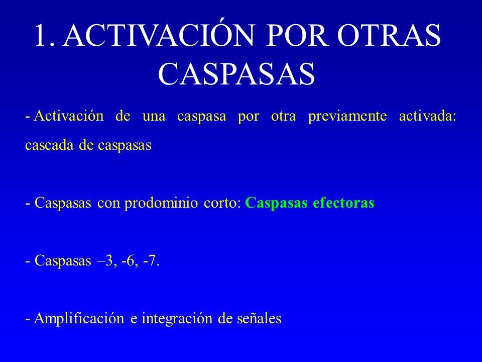1. ACTIVACIÓN POR OTRAS CASPASAS - Activación de una caspasa por otra previamente activada: cascada de caspasas - Caspasas con prodominio corto: Caspa
