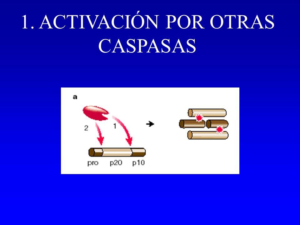 1. ACTIVACIÓN POR OTRAS CASPASAS