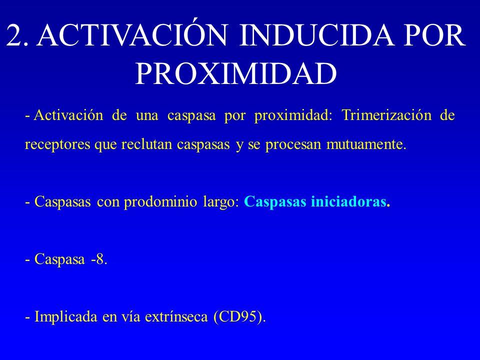 2. ACTIVACIÓN INDUCIDA POR PROXIMIDAD - Activación de una caspasa por proximidad: Trimerización de receptores que reclutan caspasas y se procesan mutu