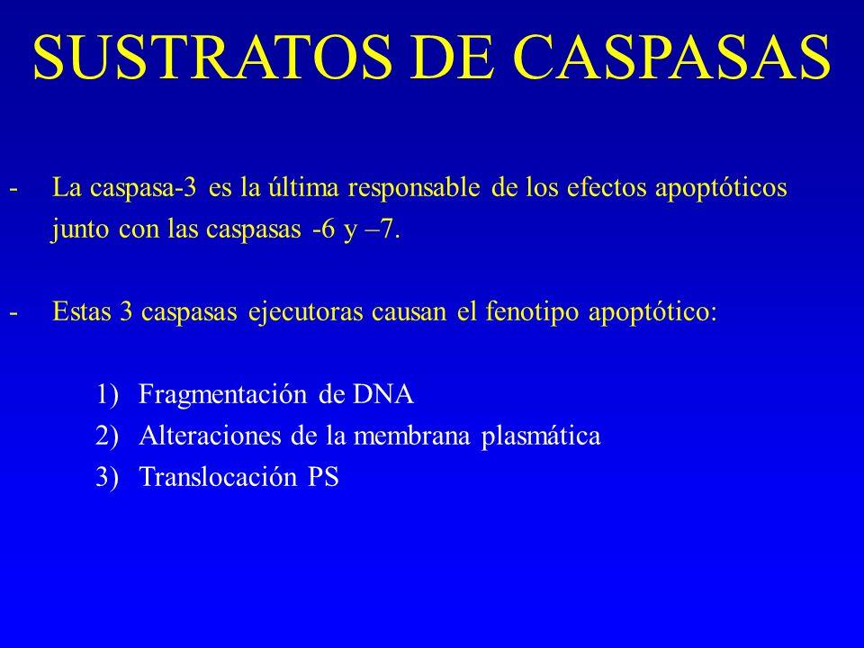 SUSTRATOS DE CASPASAS -La caspasa-3 es la última responsable de los efectos apoptóticos junto con las caspasas -6 y –7. -Estas 3 caspasas ejecutoras c