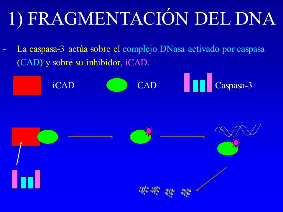 1) FRAGMENTACIÓN DEL DNA -La caspasa-3 actúa sobre el complejo DNasa activado por caspasa (CAD) y sobre su inhibidor, iCAD. iCADCADCaspasa-3