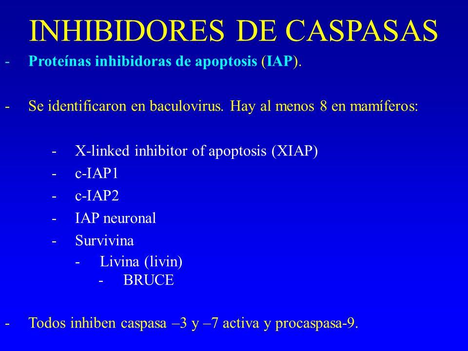 INHIBIDORES DE CASPASAS -Proteínas inhibidoras de apoptosis (IAP). -Se identificaron en baculovirus. Hay al menos 8 en mamíferos: -X-linked inhibitor
