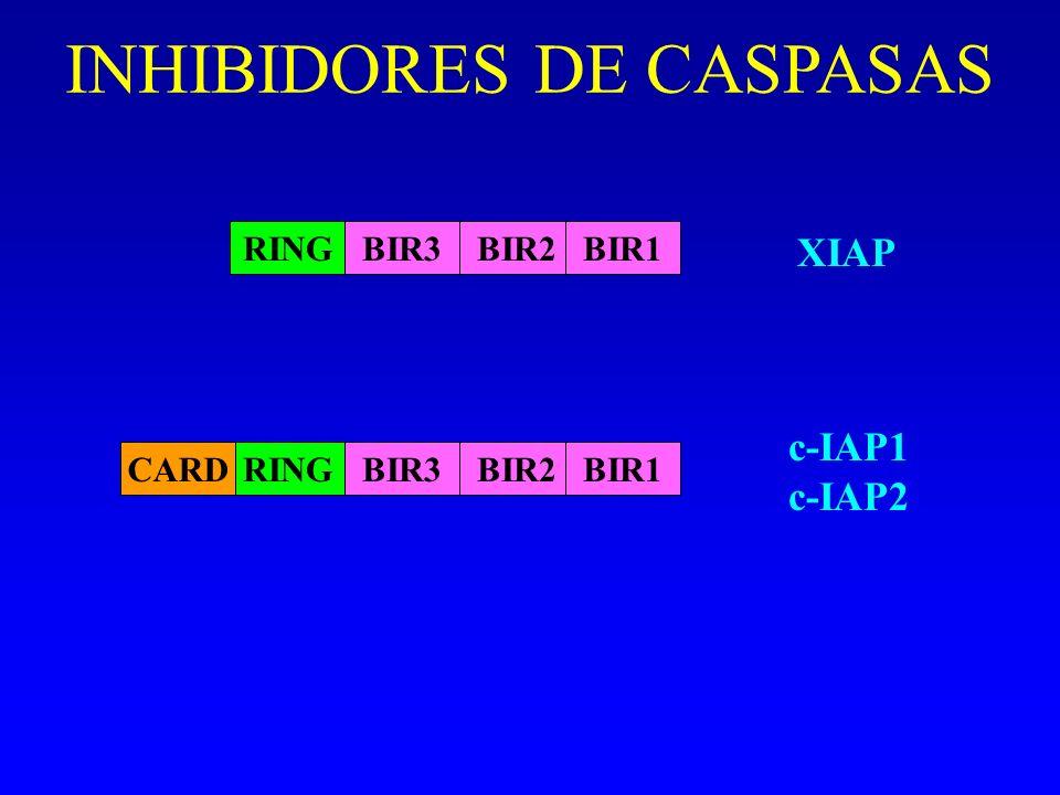 INHIBIDORES DE CASPASAS RINGBIR3BIR2BIR1 XIAP RINGBIR3BIR2BIR1CARD c-IAP1 c-IAP2