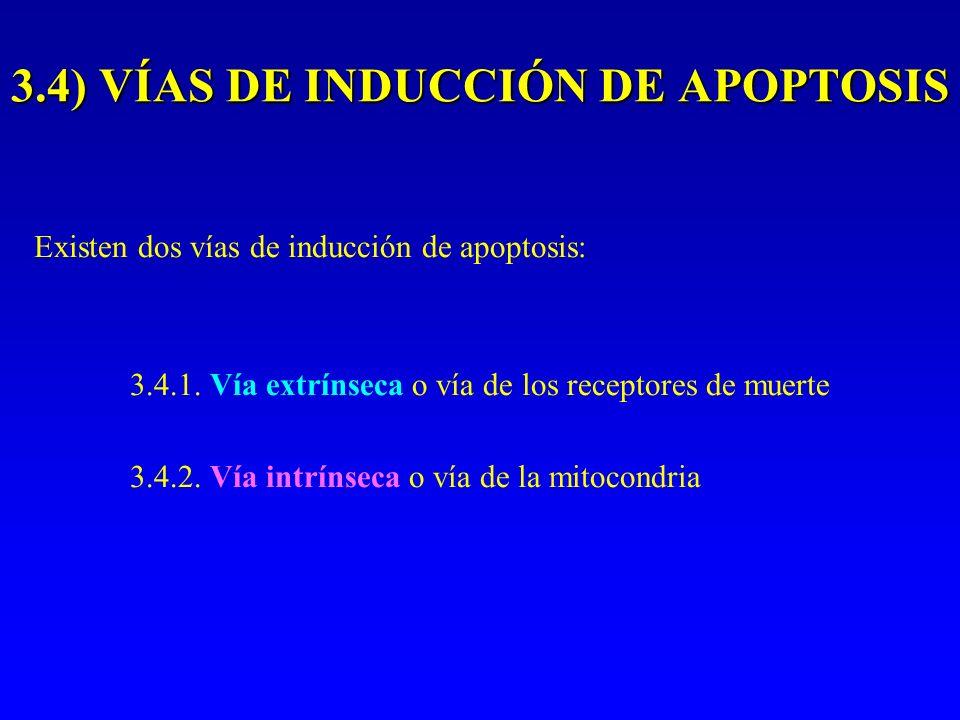Existen dos vías de inducción de apoptosis: 3.4.1. Vía extrínseca o vía de los receptores de muerte 3.4.2. Vía intrínseca o vía de la mitocondria