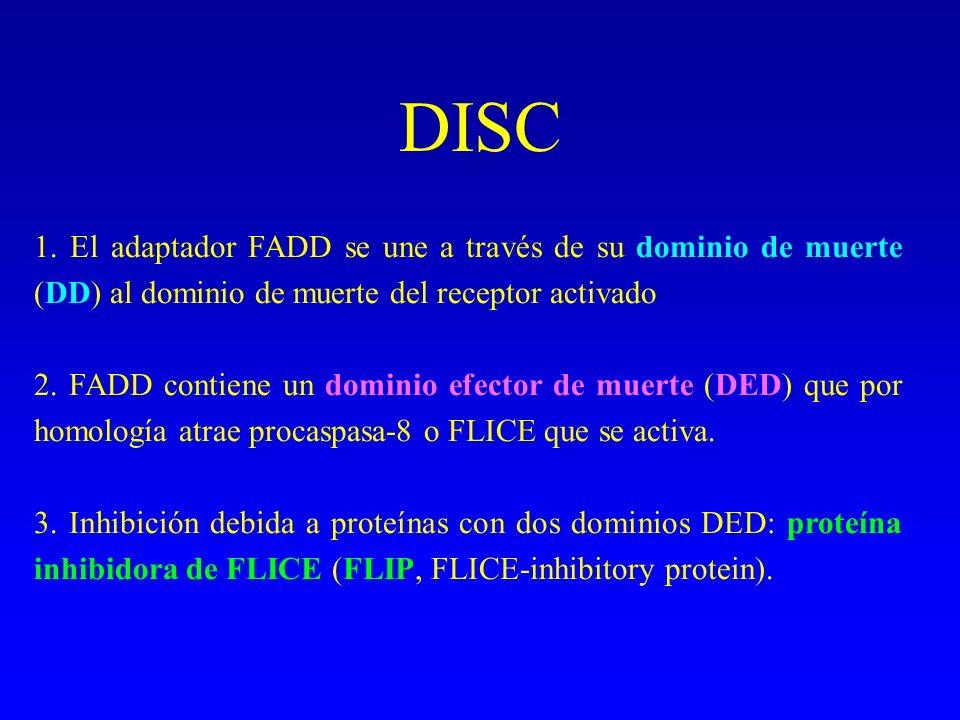 DISC 1. El adaptador FADD se une a través de su dominio de muerte (DD) al dominio de muerte del receptor activado 2. FADD contiene un dominio efector