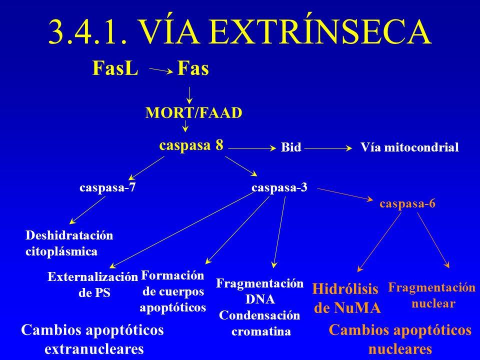 3.4.1. VÍA EXTRÍNSECA FasFasL MORT/FAAD caspasa 8 Cambios apoptóticos extranucleares Fragmentación nuclear Formación de cuerpos apoptóticos caspasa-6