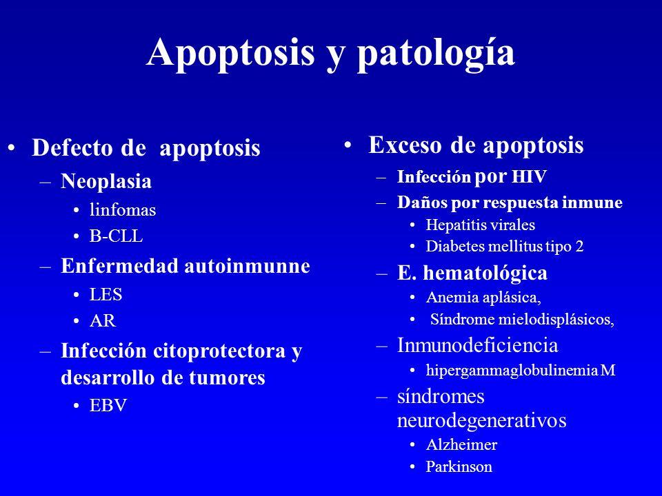 Apoptosis y patología Defecto de apoptosis –Neoplasia linfomas B-CLL –Enfermedad autoinmunne LES AR –Infección citoprotectora y desarrollo de tumores
